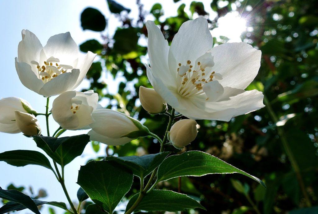 fleur thai - jasmin