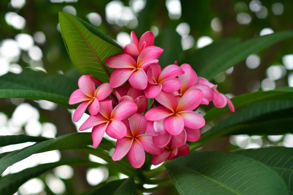 fleur thai - frangipanier