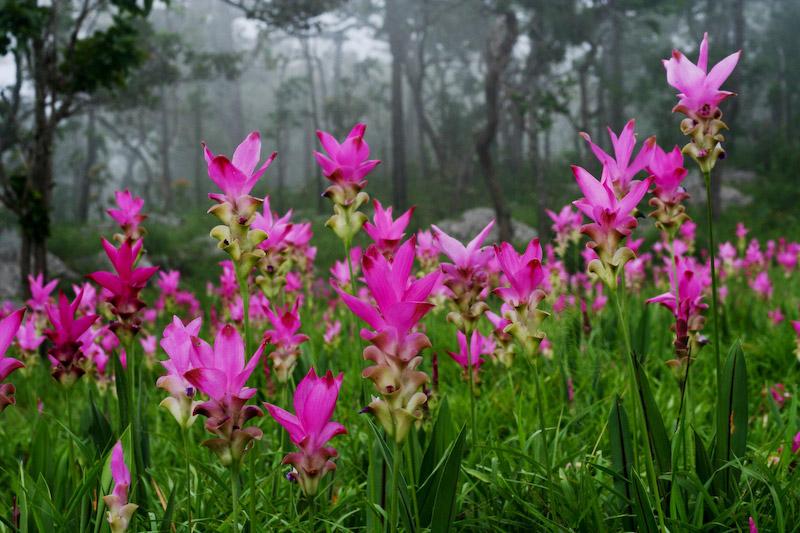 fleur thai - krachiao