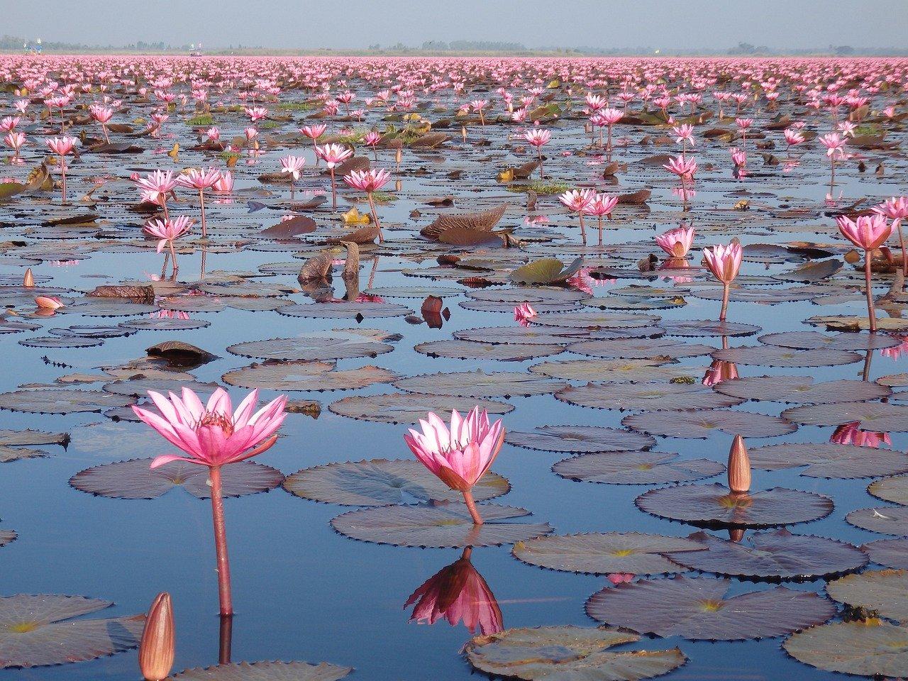 Les fleurs de Thaïlande, les espèces indigènes