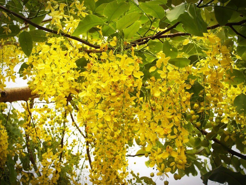 fleurs thai - Ratchapruek