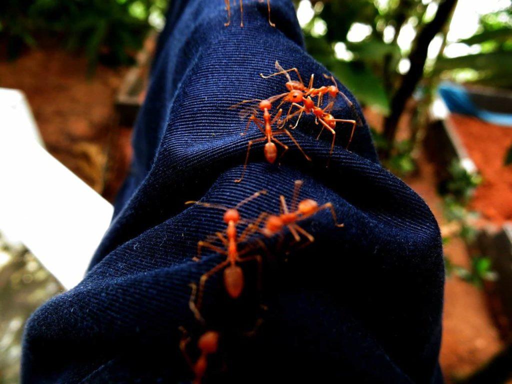 les fourmis rouges et noirs