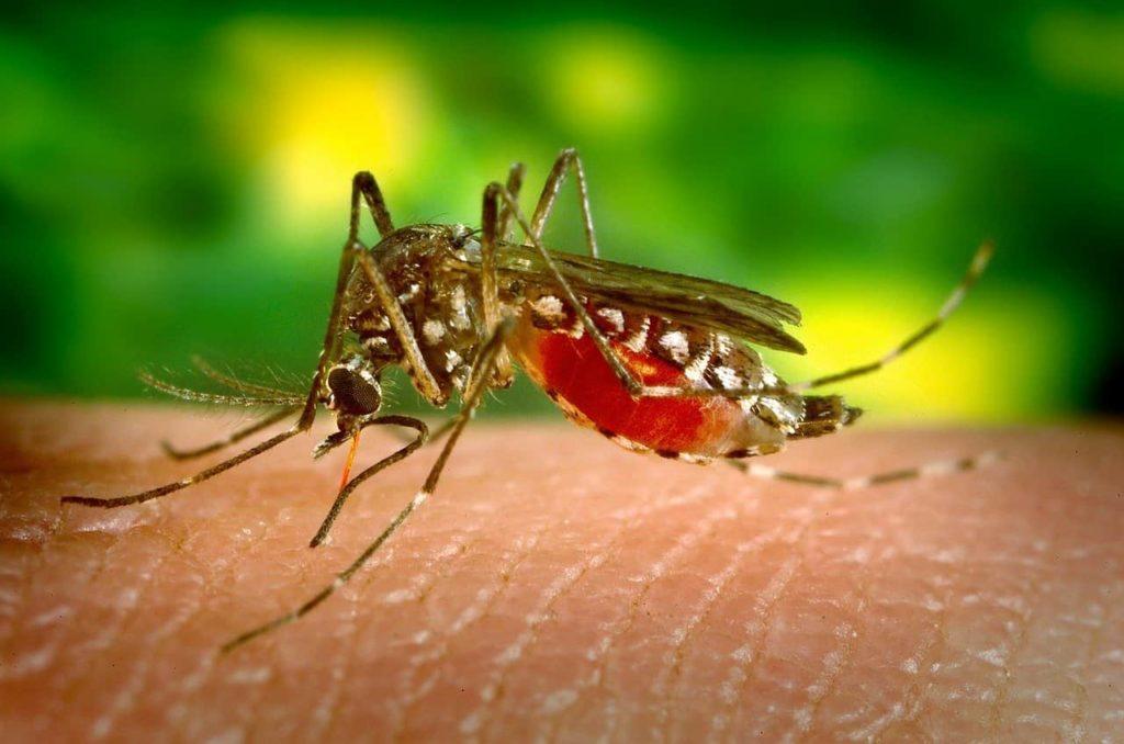 animaux dangereux - les moustiques