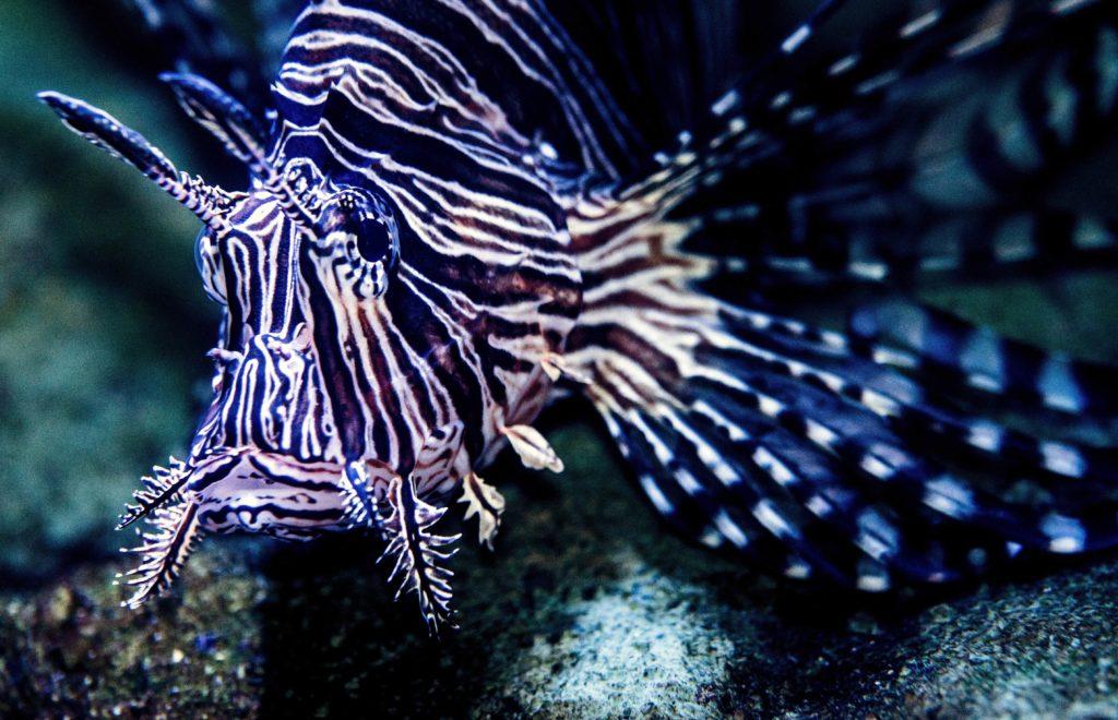 animaux dangereux - les poissons scorpions