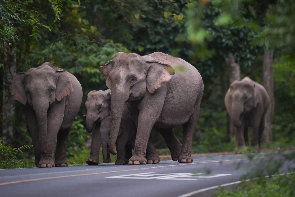 éléphants libres en thailande