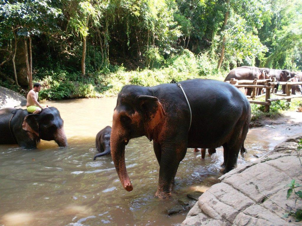 thai elephant covid19