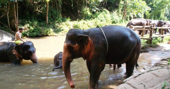 Éléphants en Thaïlande : les conséquences du COVID19