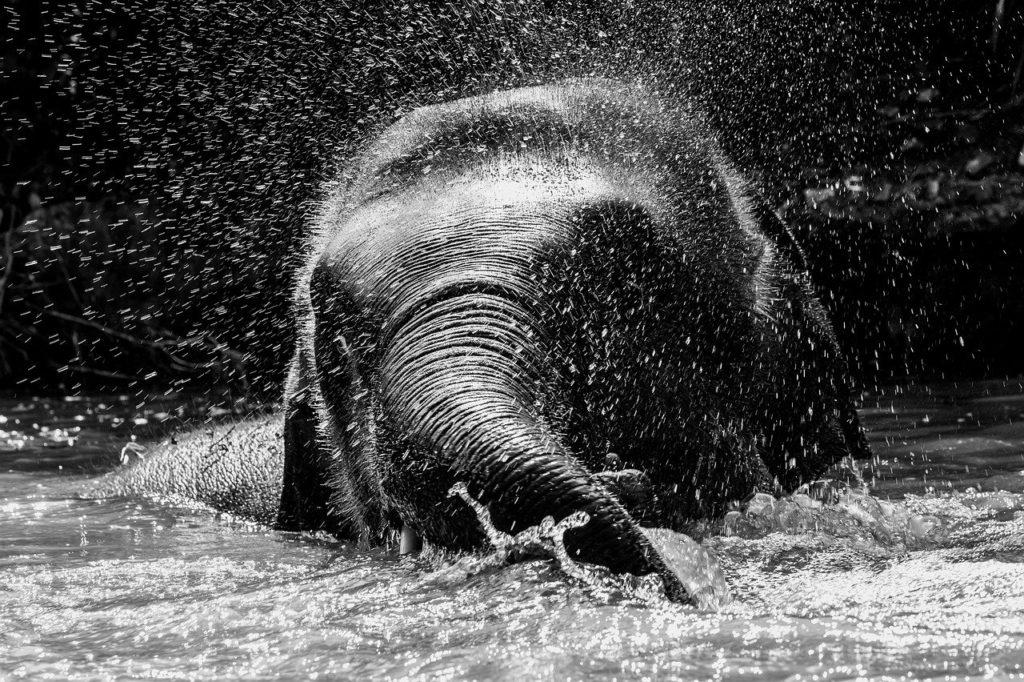 éléphants se baignant en thailande