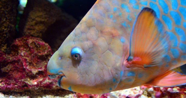 Pour sauver les récifs coralliens, commencez par les poissons-perroquets
