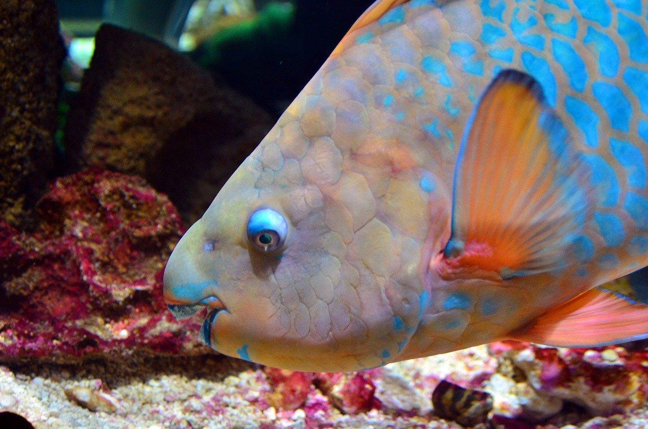 les poissons-perroquets