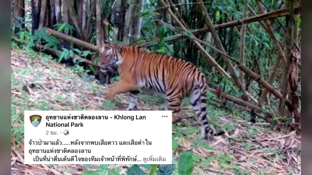 le tigre en thailande