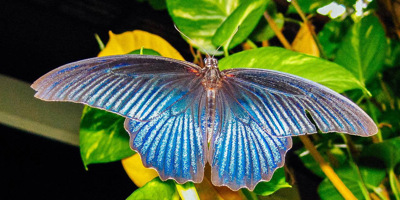 Les papillons de Thaïlande