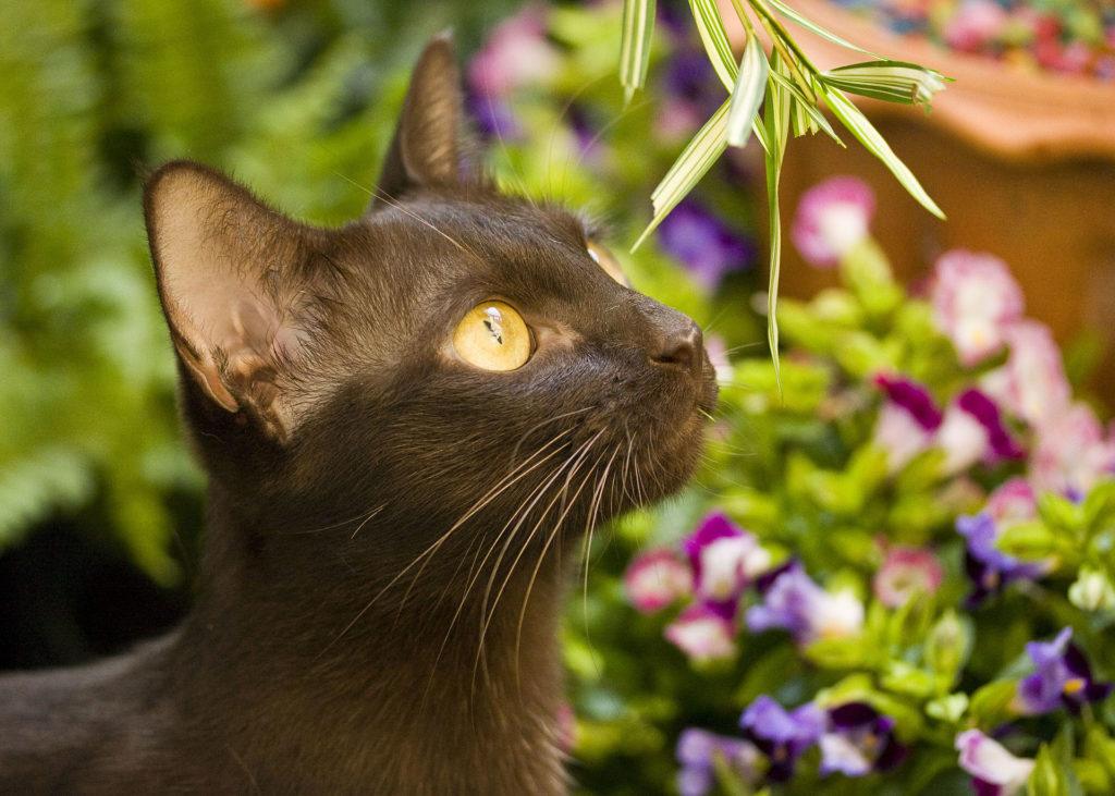 chat thaïlandais - Suphalak