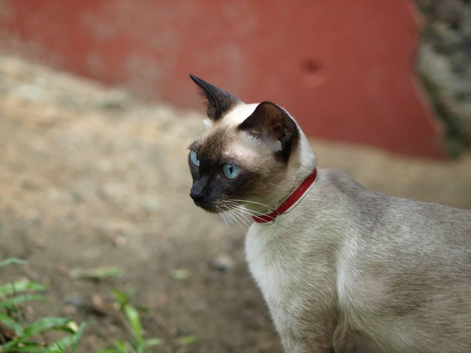 Chat thaïlandais - Wichien Maat