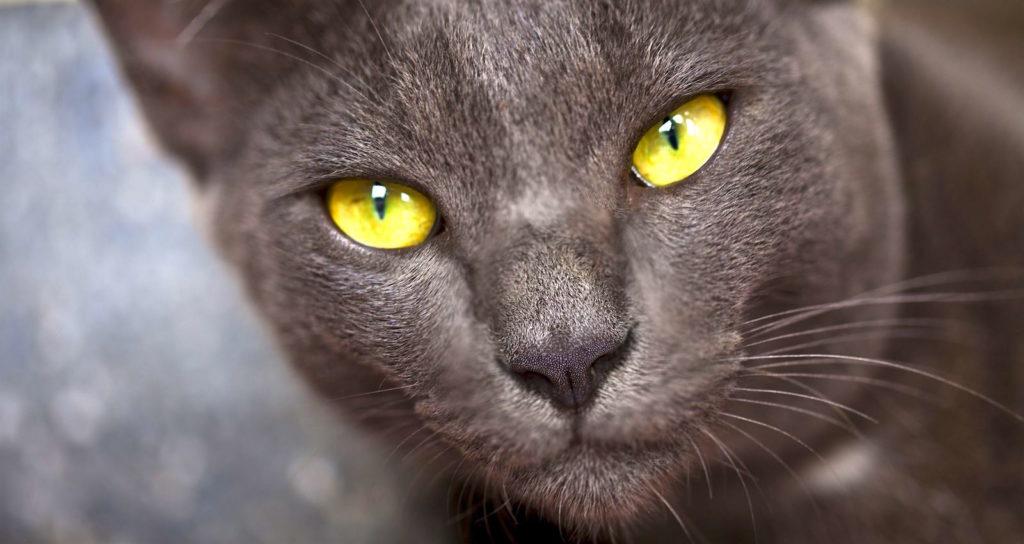 Chat thaïlandais - Korat